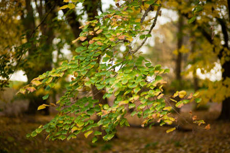 basswood: autumnal leaves of lime tree, basswood, linden, Tilia