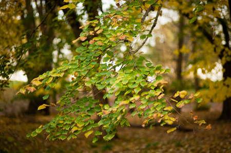 basswood: autumnal leaves of lime tree, basswood, linden, Tilia