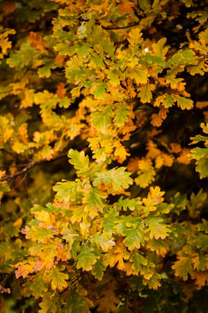 hues: Detail of oak leaves in Autumn with orange, brown and yellow hues