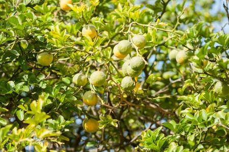 fragrant scents: Yellow and green Fruits of Bergamot orange on tree, Citrus bergamia
