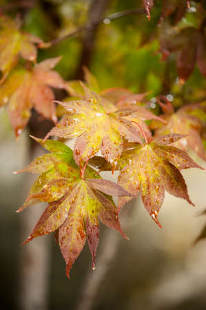 hues: Maple tree leaves in autumn with orange, brown, red and yellow hues