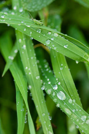 blades: Close up of blades of green grass with water drops Stock Photo