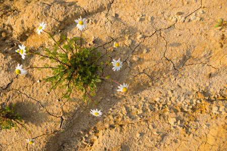 chamomilla: Chamomile plants in full bloom in a desertic sandy land Stock Photo