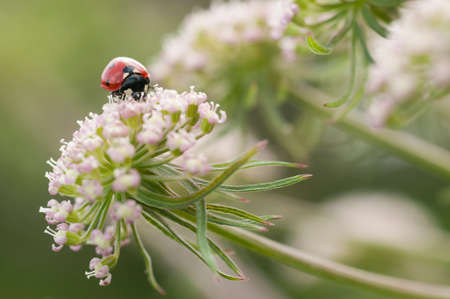 septempunctata: Ladybug, ladybird, Coccinella septempunctata on white flowers