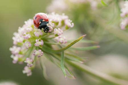 coccinella: Ladybug, ladybird, Coccinella septempunctata on white flowers