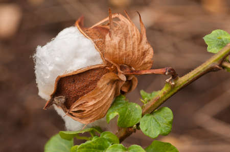 plant gossypium: Exposed flower bud of Gossypium herbaceum, commonly known as Levant cotton, species of cotton native to the semi-arid regions of sub-Saharan Africa and Arabia