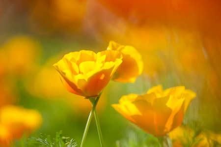 California golden poppy flowers under the bright sun stock photo eschscholzia californica yellow and orange poppy wild flowers official state flower of california mightylinksfo Gallery