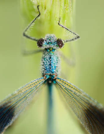damselfly: Damselfly covered with dew drops on early morning