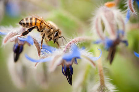 mellifera: honey bee, apis mellifera,  on Borrago flowers
