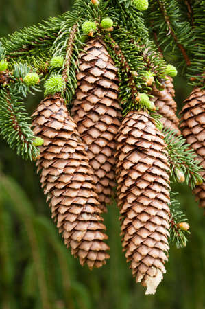 picea: Norway spruce tree with green buds and cones, Picea abies Stock Photo