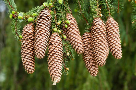 Norway spruce tree with green buds and cones, Picea abies Stock Photo