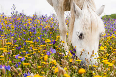 White horse grazing flowers on a field