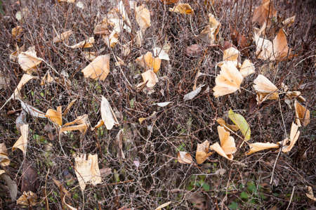 dead leaves: Dead leaves fallen on leafless bush in Autumn Stock Photo