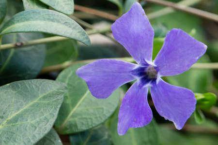 northwest africa: Periwinkle, Vinca flower, genus of flowering plants in the family Apocynaceae, native to Europe, northwest Africa and southwest Asia Stock Photo