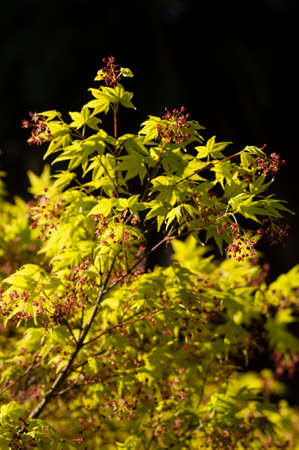 Maple tree with yellow green leaves and Spring red flowers, Acer palmatum Stock Photo