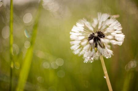 pappus: Close up of a dandelion, taraxacum, seeds with hair pappus
