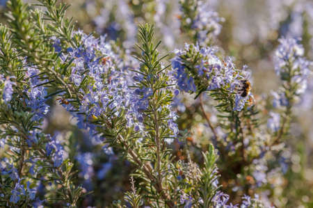 Rosemary plant closeup with blue flowers in full bloom. Imagens - 60078721