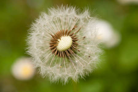 pappus: Close up of a dandelion, taraxacum, seeds with hair pappus
