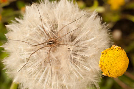 longlegs: Close up of a dandelion, taraxacum, blowball with daddy long-legs spider