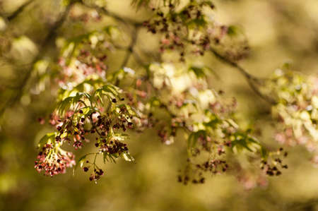 palmatum: Maple tree with yellow green leaves and Spring red flowers, Acer palmatum Stock Photo