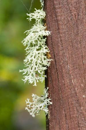 lichen: Lichen organisms growing on wood and stone Stock Photo