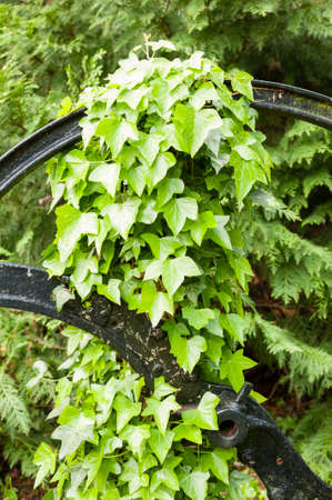 creep: Hedera leavs, commonly called ivy, evergreen climbing or ground-creeping woody plants in the family Araliaceae Stock Photo