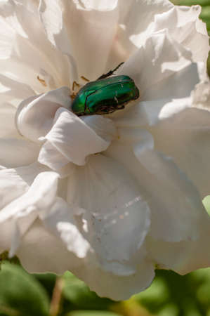 coleoptera: Cetonia aurata, chafer, green rose beetle, on white flower