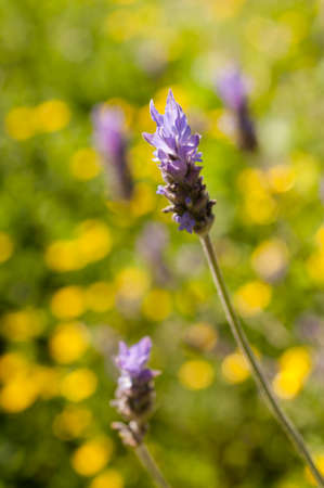 lavande: Lavander flowers under the sun in yellow back gorund