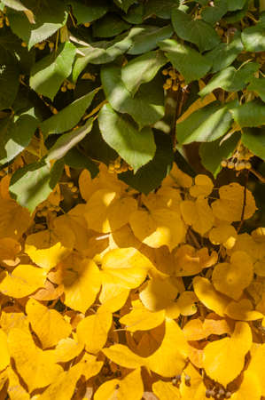 tilia: Autumnal leaves and fruits of lime tree, Tilia, linden, basswood. Stock Photo