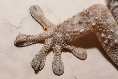 Gray house Gecko living inside a European house Imagens