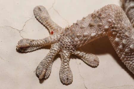 Gray house Gecko living inside a European house Stock Photo