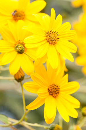 Jerusalem artichoke (Helianthus tuberosus), sunroot, sunchoke, earth apple or topinambour, species of sunflower native to eastern North America, cultivated across the temperate zone for its edible tuber.