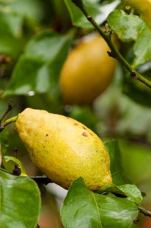 limon: lemon fruits on tree, small evergreen tree native to Asia, Citrus limon