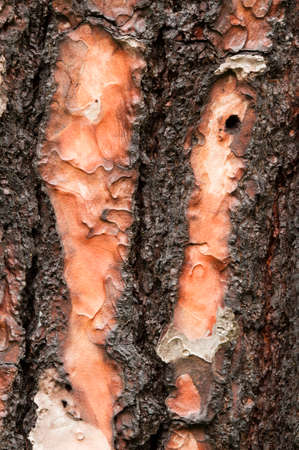 canariensis: close up of trunk bark of pinus canariensis, evergreen tree native and endemic to the outer Canary Islands Stock Photo