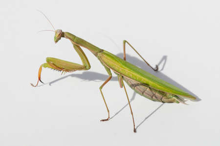 Close up of female praying mantis under the sun on white background