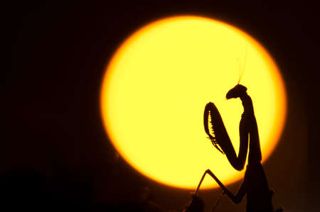 Close up of female praying mantis against sun background