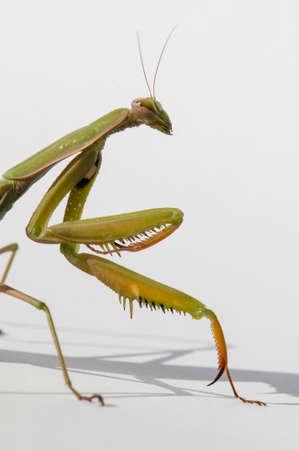 european mantis: Close up of female praying mantis under the sun on white background