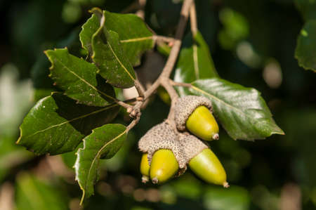 Green leaves and acorns of holm oak tree in autumn Imagens - 68219420