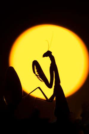 Close up of female praying mantis against sun background