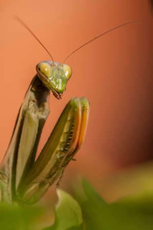 european mantis: Close up of female praying mantis under the sun on colorful background