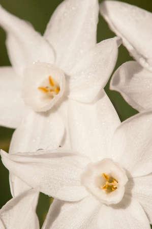 polyanthus: Narcissus tazetta, paperwhite, bunch-flowered Daffodil, Chinese sacred lily, cream joss flower, polyanthus, perennial ornamental plant.
