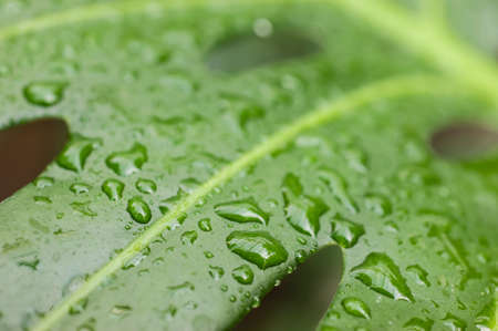 Water drops on leaf of Monstera deliciosa, Swiss cheese plant.
