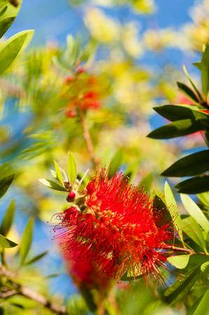 Flowers of Melaleuca viminalis, weeping bottlebrush, creek bottlebrus, plant in the myrtle family, Myrtaceae,  endemic to New South Wales, Queensland and Western Australia.