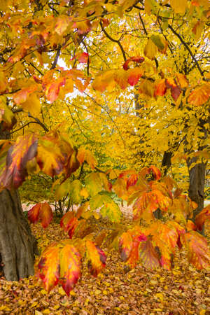 Persian ironwood tree with autumnal leaves, Parrotia persica.