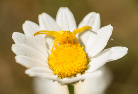 crabspider: Yellow crab spider in hunting pose on daisy flower.