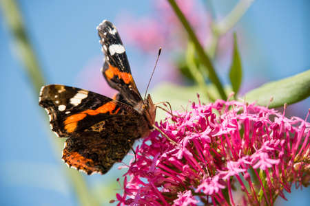 Vanessa atalanta, red admiral, colourful butterfly, found in temperate Europe, Asia and North America Stock Photo
