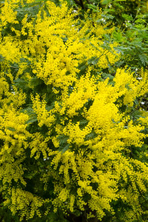 Yellow flowers of acacia dealbata silver blue wattle mimosa stock photo yellow flowers of acacia dealbata silver blue wattle mimosa tree in full bloom mightylinksfo