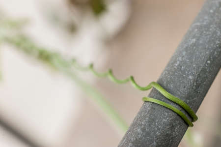 Detail of Creeping plant green tendril structure