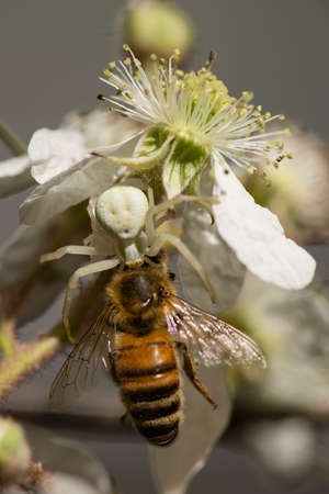 Camouflage crab spider capturing a honey bee on white flower