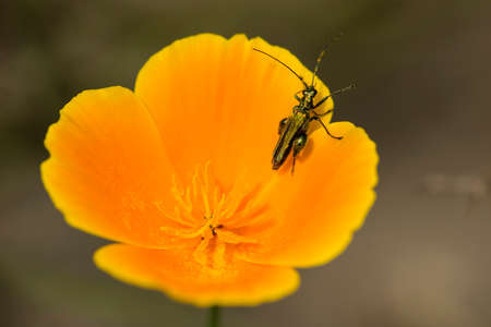 Emerald coleopteron insect on california golden poppy flower stock emerald coleopteron insect on california golden poppy flower stock photo 79038977 mightylinksfo